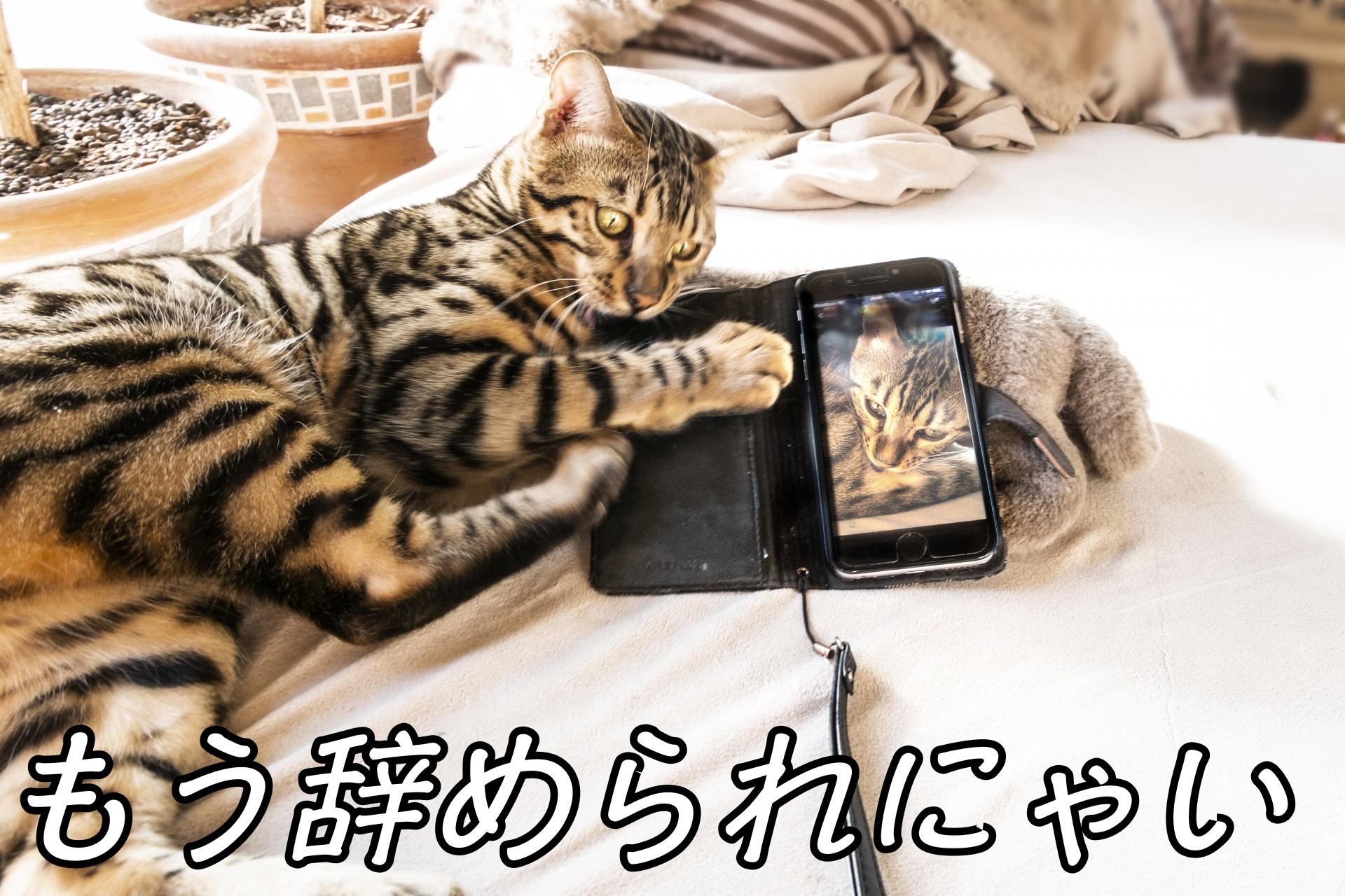 スマホとじゃれる猫